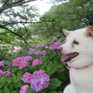 幸せが手からあふれる埼玉県幸手市の紫陽花を愛ちゃんと見たよ(後半)