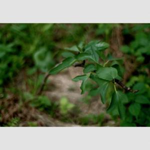 いちじくの挿木