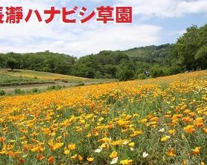 ★秩父・長瀞「花の里ハナビシ草園」開園中★