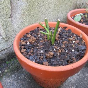 植え替えたミニバラ 咲いたよ!