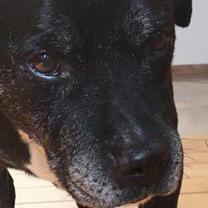 ピットブルファラオの日に犬の躾について。