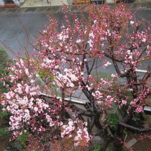 梅から桜の季節です。