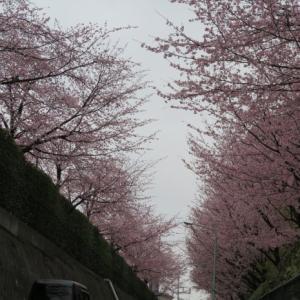 植木の町 安行の桜