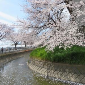 桜見物 東浦和 見沼田圃用水路に沿って