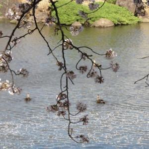 東浦和の桜と当家春の庭風景報告