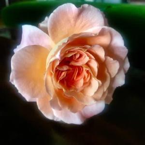 ドイツ人女性の名前を持つ薔薇