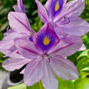布袋草の花とメダカ