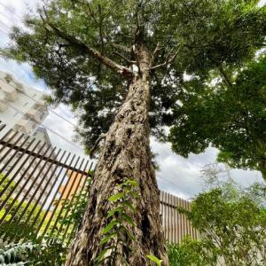 マキの木、イチジクの木、植木屋さん