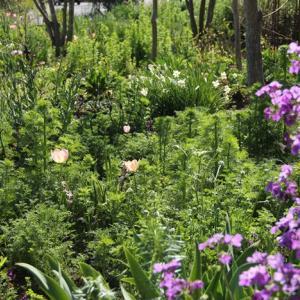 今日の野バラ庭