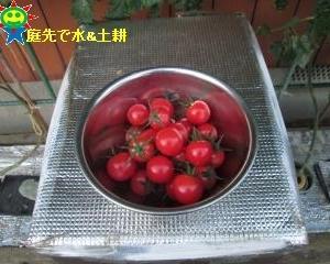 赤くなったミニトマトを収穫中