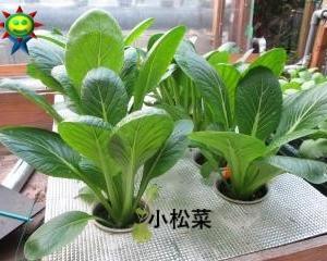 小松菜・チンゲン菜の一部を収穫