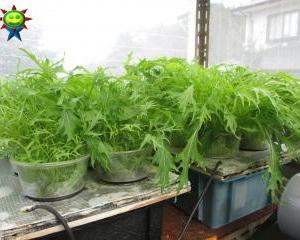 水菜も順番に収穫