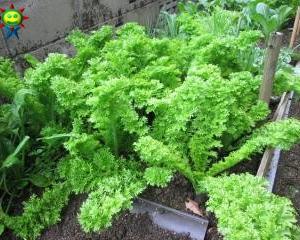 ワサビ菜の今 2・27
