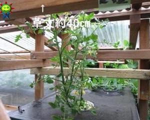 冬を乗り越えたミニトマトの生長