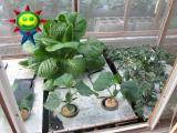 4月末の菜園(水耕)の様子