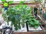 7月末の菜園(水耕)の様子
