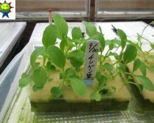 チンゲン菜の定植