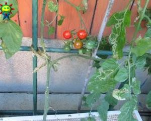 秋のミニトマト(ぶくぶく栽培)が赤くなる