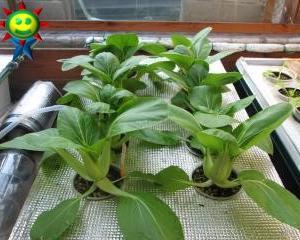 チンゲン菜の定植一か月後