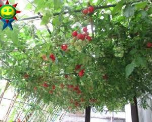 赤く色づくミニトマト(トマト棚栽培)