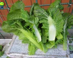 高菜を二回目のかき取り収穫