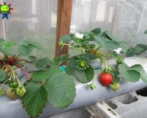 何とか年内に赤くなったイチゴ