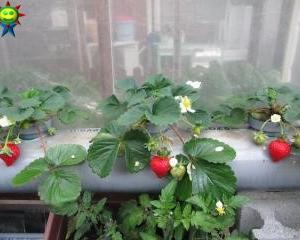 寒波を乗り越えた赤い水耕イチゴ