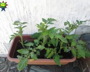越冬中のミニトマトの苗