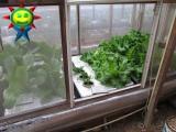 1月末の菜園(水耕)の様子