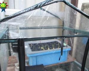 スプラウトにんにくの栽培