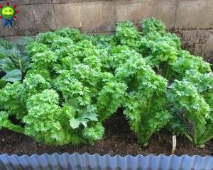 ワサビ菜の収穫