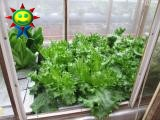 2月末の菜園(水耕)の様子