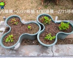 レタスミックスの栽培