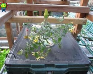 ミニトマトを定植