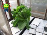 3月末の菜園(水耕)の様子