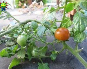 ミニトマトが早くも赤く (トマト棚栽培)