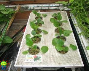 小松菜(水耕)を定植