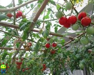 ミニトマト(トマト棚栽培)が赤く