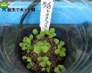 久し振りにレタスミックスの種蒔き