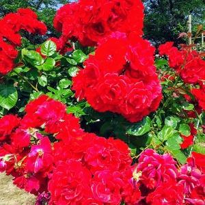 バラ園と薔薇ジャム