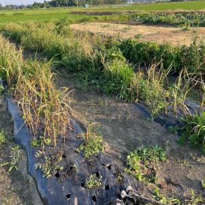 6月9日 ニンニクの収穫