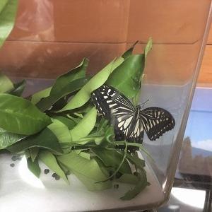 アゲハチョウが羽化しました