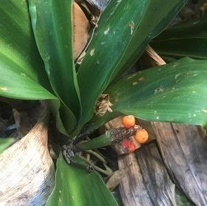 今日の庭 万年青の赤い実が食べられてしまいました