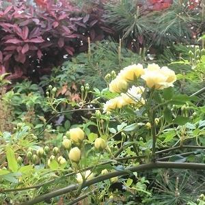 今日の庭 モッコウバラが咲き始めました