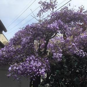 今日の庭 藤の花が見頃です