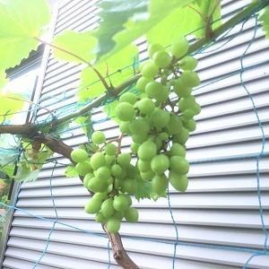 今日の庭 ブドウの実が大きくなりました