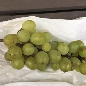 2020年のブドウを一房収穫できました