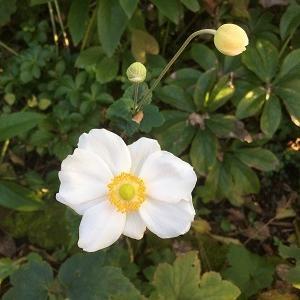 昨日の庭 シュウメイギクが咲き始めました