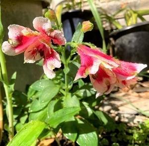 今日の庭 アルストロメリアが咲き始めました