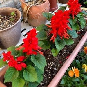今日の庭 夏の花への植え替えが始まっています
